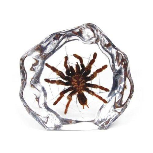 (Real Tarantula Desktop Decoration)
