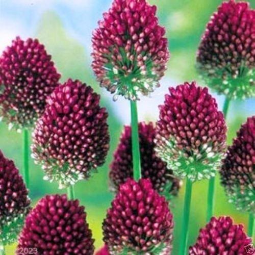 100 ALLIUM Bulbs~Purple Drumstick~ Ornamental Onion -FALL (Planting Allium Bulbs)