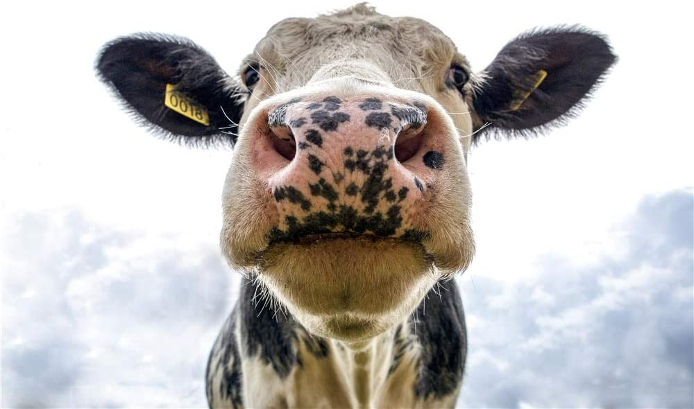 Rompecabezas De 1000 Piezas Cabeza De Vaca Lechera En Blanco Y Negro para Amigo Adulto
