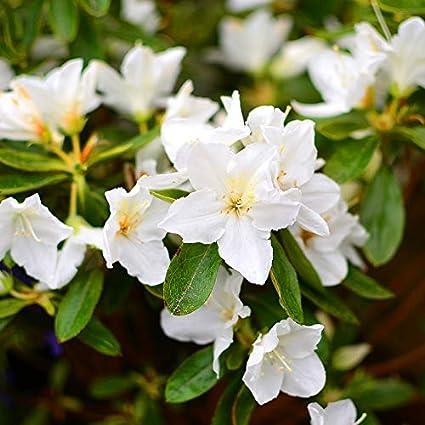 Azalea garden rare azalea flower plant white exotic ornamental azalea garden rare azalea flower plant white exotic ornamental flower plant 1 healthy mightylinksfo