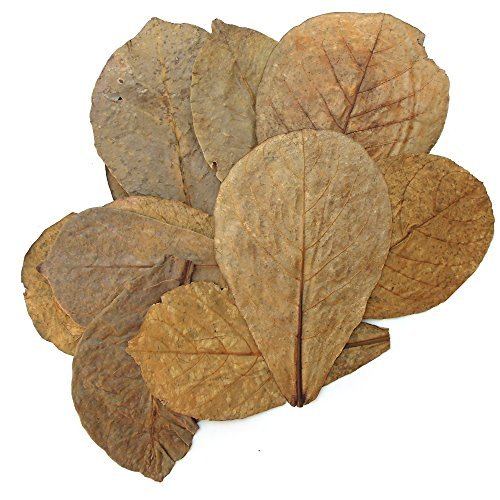Tantora Premium Indian Almond Catappa Leaves Size Extra Large 50 Leaves 18-30 cm (7-12 inches) by Tantora