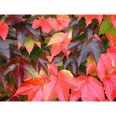 Parthenocissus tricuspidata BOSTON IVY VINE Seeds! : Garden & Outdoor