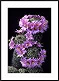 ArtEdge Arizona Fishhook Pincushion Cactus. Sonoran Desert. Tucson, Arizona by Thomas Wiewandt Framed Print Size 29x21 Frame Finish Ronda Ii Black