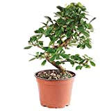 Brussel's Bonsai Live Fukien Tea Indoor Tree - 6 Years Old; 6'' to 10'' Tall with Plastic Grower Pot