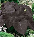 Colocasia esculenta - 'Black Magic' - Elephant Ear