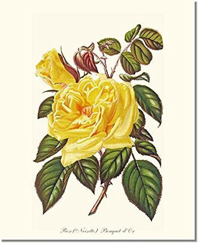 Old Fashioned Rose Bouquet (Vintage Botanical Art Print - Roses - Bouquet)