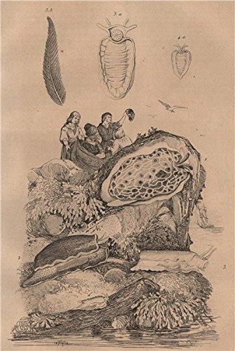 (PLEUROBRANCHES. Sea slugs. Reticulé. de Péron. ponclué. Cornu (Horned) - 1834 - old print - antique print - vintage print - Molluscs art)