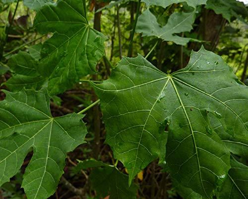 6 esquejes Cnidoscolus chayamansa espinaca de /Ã/¡Rbol Maya PLAT FIRM Semillas DE GERMINACION: Chaya