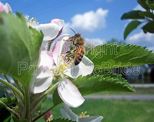 Apple Blossom Photo (Honey Bee and Apple Blossom 8x10 Photo)
