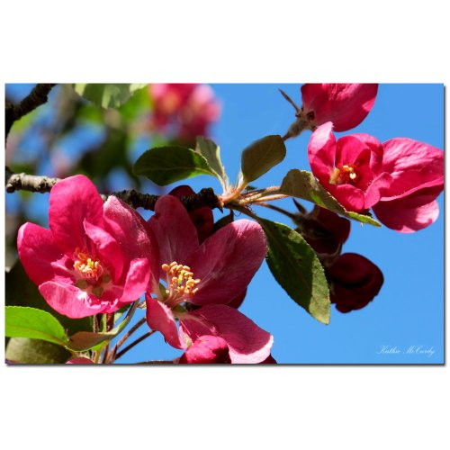 Apple Blossoms by Kathie McCurdy, 30x47-Inch Canvas Wall Art