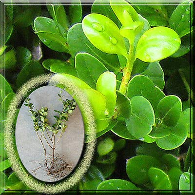 1 Winter Gem Wintergem Japanese Boxwood Japanese Buxus Live Plant Root : Garden & Outdoor