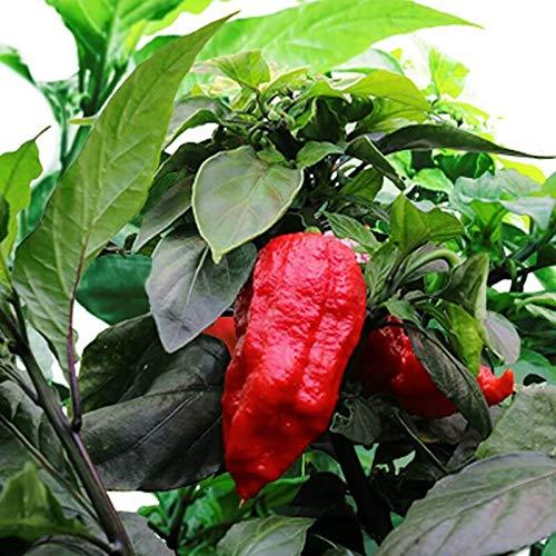 aerogarden chili pepper seeds - 5