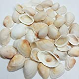PEPPERLONELY White Mixed Size Ark Clam Shells Scallop Pecten Sea Shells, 1 Pound Apprx. 50+ PC Shells, 1 Inch ~ 2-1/2 Inch
