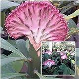 "Euphorbia lactea cristata Plants, Elkhorn, ""Purplemongkol"" Frilled Fan Crested"