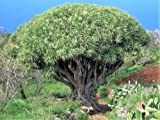 Dragon Tree Dracaena Draco Drago Blood Asparagus Yucca Houseplant Seeds #LKY