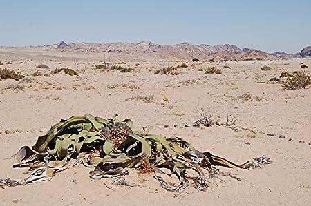 only seller Welwitschia Mirabilis 1 x Extremely rare seed Endemic to Namibia