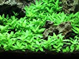 Staurogyne Repens Tissue Cultured - Foreground Aquarium Plant