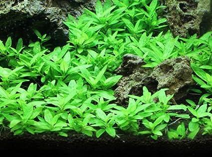 Staurogyne Repens - Foreground Aquarium Plant & Amazon.com : Staurogyne Repens - Foreground Aquarium Plant : Pet ...
