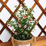 Plant Plastic Pot - 100 Pcs Mini Hibiscus Bonsai Anisodontea Flower DIY Home Potted Or Yard Plant