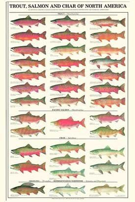 trout and salmon id poster