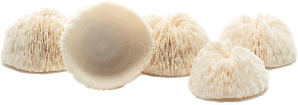 Mushroom Sea Coral   White Real Mushroom Coral 1