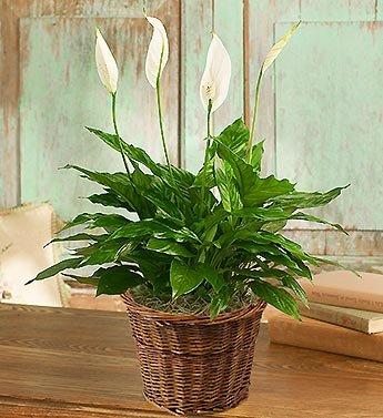 Peace Lily Bouquet - 6