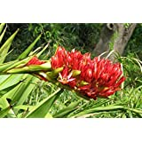 Portal Cool Rare 4 Seeds Dsl Javelin (Doryanthes Palmeri) G841 Spear Giant Semi Lily Seed