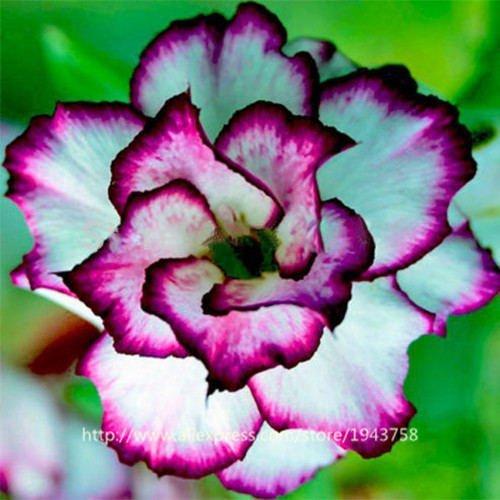 new arrival 24 colors rare desert rose seeds real Thailand Adenium obesum  seeds flower bonsai plant mini tree giant flower 2pcs 7