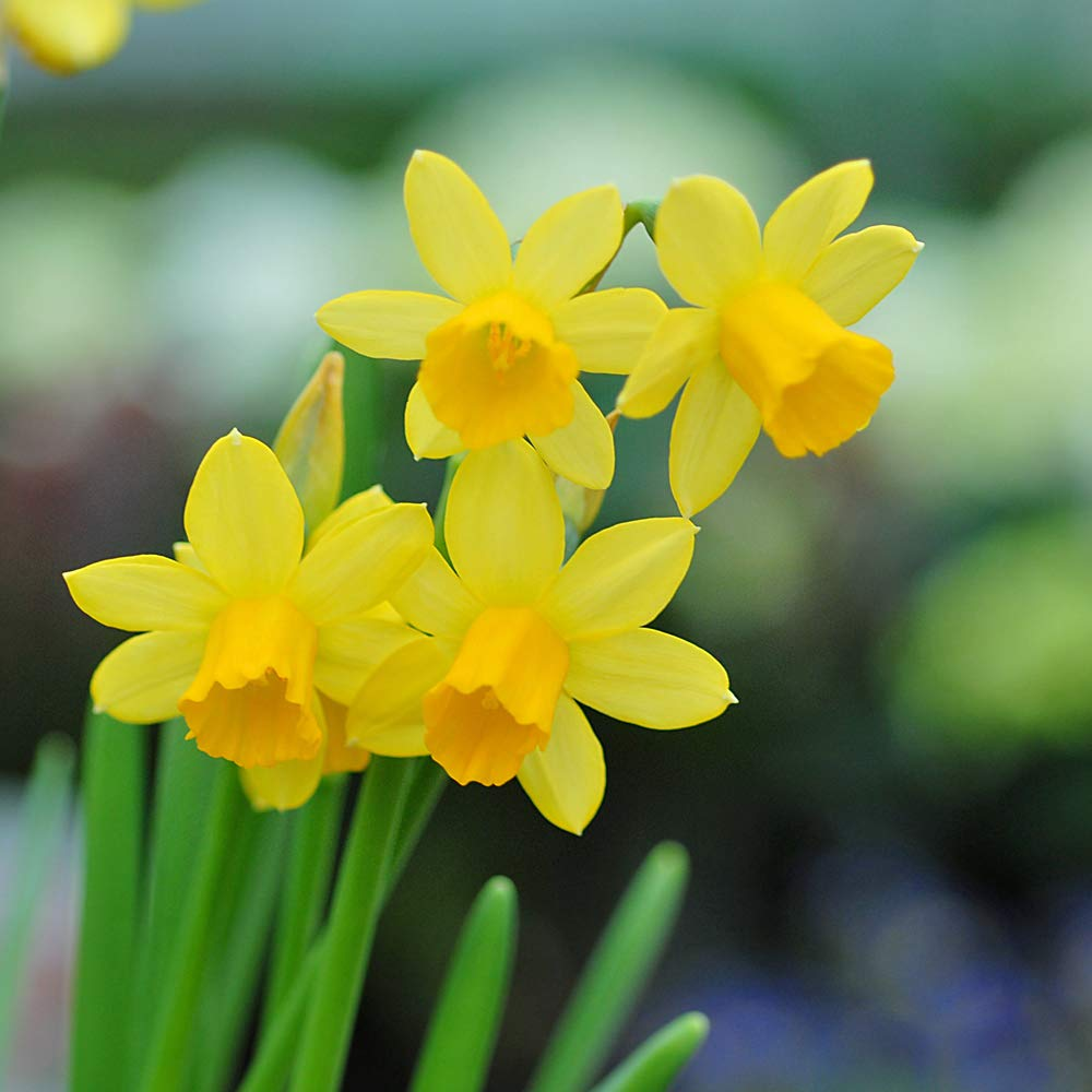 Mini Daffodil Bulbs Hardy Spring Flowering with Classic Bright Yellow Flowers, Spring Garden Plant, Low Maintenance and Easy to Grow, 25 x Daffodil (Narcissus) Mini Tete-a-Tete Bulbs by Thompson & Morgan