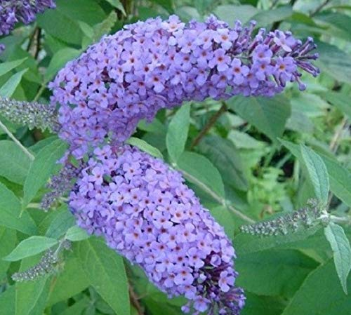 Nanho Blue Butterfly Bush (Buddleia) - Live Plant - Full Gallon Pot