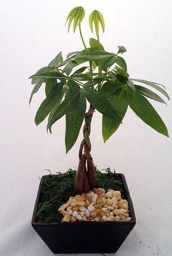 Amazon Com Money Tree Bonsai In Odessa Asian Style Pot Pachira Aquatica Garden Outdoor