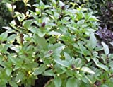 Cinnamon Basil 100 - 12,500 Seeds Fresh Heirloom culinary scent Herb plant Spicy (1)