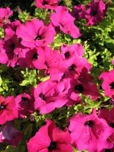 200 Pink Laura Bush Petunia Violacea Perennial Frilled Trumpet Flower Seeds