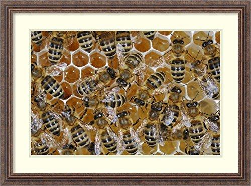Hans Honey (Framed Art Print 'Honey Bees on honeycomb filled with honey, Germany' by Heidi and Hans-Jurgen Koch)