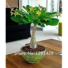 5 Pieces Mini Pachira Macrocarpa Seeds, Hawaiian Make Money Tree Plant, Bonsai Pot Indoor Flowers Plant Seeds,