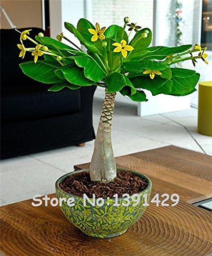 5 Pieces Mini Pachira Macrocarpa Seeds, Hawaiian Make Money Tree Plant, Bonsai Pot Indoor Flowers Plant ()