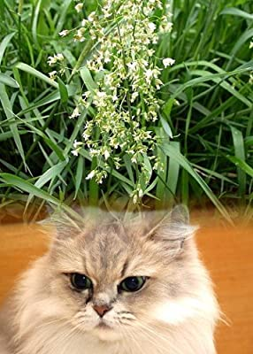 "Sweet Grass For Cats - Hierochloe oderata - Sacred - 4"" Pot"