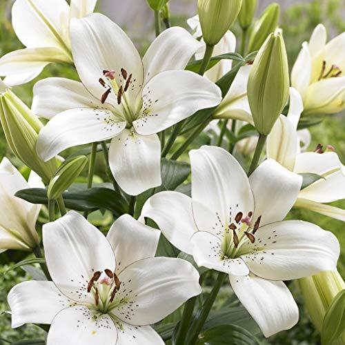 Van Zyverden 83473 Lilies Eyeliner Set of 7 Bulbs Flowering-Plants, 14/16 cm White