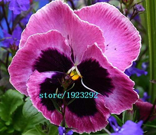 - 100purple rain Pansy Seeds, Violet Queen, Hardy Container, Border Flower Plant: White