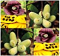 5 pawpaw paw paw paw-paw TREE SEEDS FRESH SELECT Asimina triloba Insect Repellent