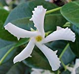Confederate Star Jasmine Plant - 6' Pot/Trellis - Extremely Fragrant...