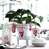Medinilla Myriantha Malaysian Orchid Seeds 30 Pcs Pink Blooms Bonsai Blooming Shrub Garden Houseplant Indoor Seeds