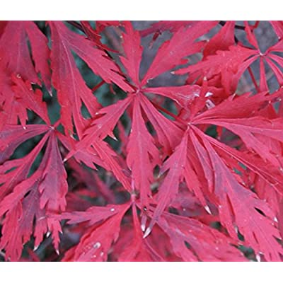 """Fancy Foilage Trees """"Red Dragon"""" Japanese Maple Tree/Plant (5) Fresh Seeds : Garden & Outdoor"""