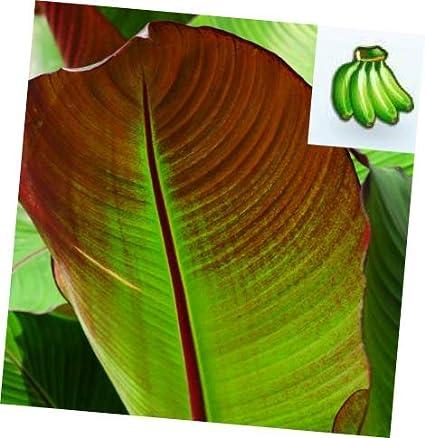 Amazon Com 1 Pcs Ensete Maurelii Red Abyssinian Banana Tree