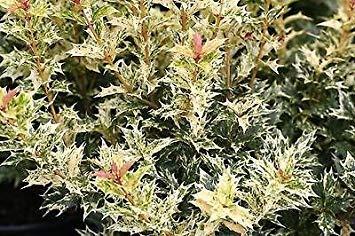 (Osmanthus heterophyllus Gosiki - False Holly, Holly Olive - Plant in 9cm Pot )