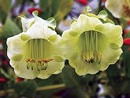 Cobaea Scandens 10 Seeds Flower White