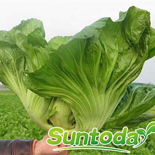 Portal Cool 100Pcs: Suntoday Brassica Oleracea Alboglabra Chinese Cabbage Mustard Kale Seeds 100Pcs