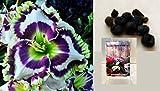 (US) Born To Be Wild Phil Daylily 5 Seeds (Hemerocallis) Upc 647923988956