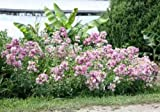Saponaria Officinalis - 100 Seeds - Bouncing Bet or Soapwort