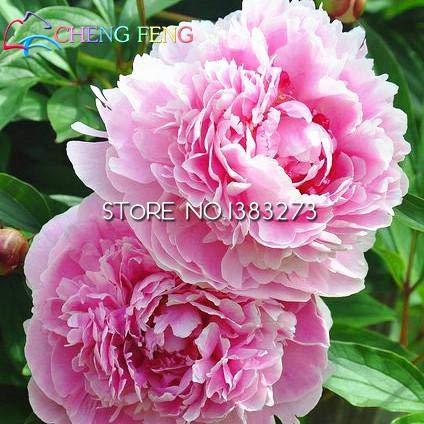 Shopmeeko Bastante chino Herbaceous Peony Bonsai 10 unids/pack Salsas de flores de peonÃa de